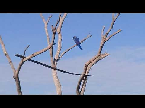 Embedded thumbnail for Pantanal Ecotrips seeing macaws